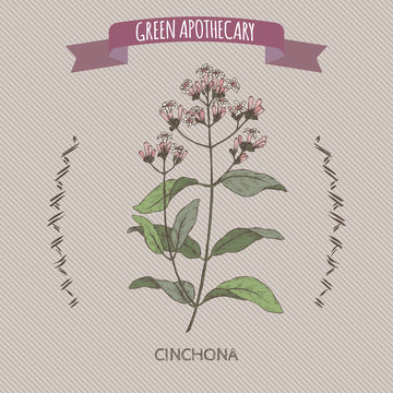 Cinchona officinalis aka quinine or Jesuit bark color sketch.