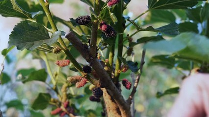 Fototapete - Farmer picking Mulberry fruit from the tree in harvest time