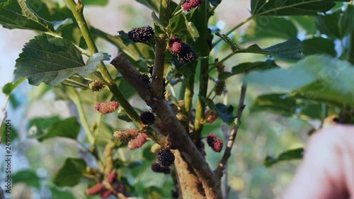 Fototapete Farmer picking Mulberry fruit from the tree in harvest time