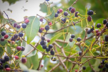 Organic purple Syzygium cumini fruits on tree. Syzygium cumini, known as jambul, jambolan, jamblang or jamun, is an evergreen tropical tree.