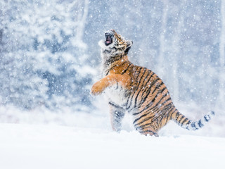 Tiger portrait in cold winter. Tiger in wild winter nature. Action wildlife scene, danger animal.