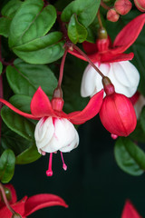 Fuchsia (sir matt busby)
