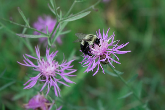 Bumblebee on spotted knapweed (Centaurea stoebe)