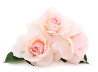 White roses flowers.