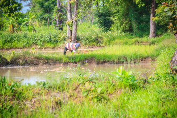 Simple lifestyle of rural Thai peasant, farmers are farming in the green paddy field during the rainy season.