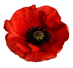 Obraz red poppy flower on a white isolated background with clipping path.   Closeup.  no shadows.  For design.  Nature. - fototapety do salonu