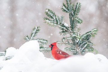 red male cardinal out in the snow