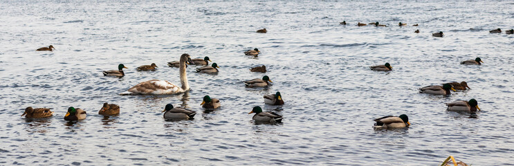 migratory birds, ducks and swans swim in a park on a lake / river. background.