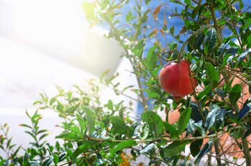 pomegranate grows on a tree