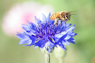 Bees Pollinating and Flying Over Blue Purple Cornflower (Centaurea cyanus) in Spring