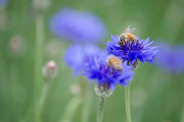 Bees Pollinating Blue Purple Cornflower (Centaurea cyanus) in Spring