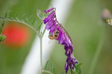 Bees Pollinating Pink Purple Foxglove Flower