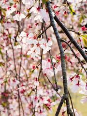 Weeping cherry tree in full bloom