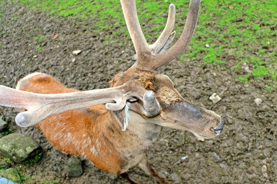 Deer horned under the open sky