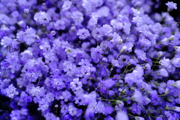 Macro view of Colorful Gypsophila in full blossom creamy style