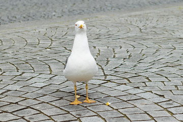 Sea Gull in the streets