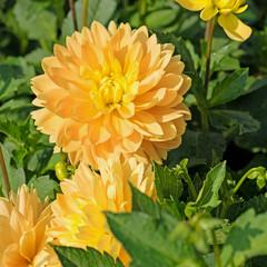 Blühende gelbe Dahlien