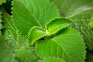 Green fresh Mint leaves, horizontal Background with copy space.