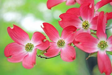 ハナミズキ 赤い花