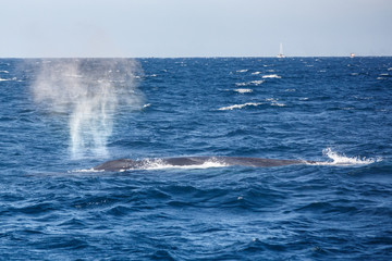 Blue whale watching safari in Sri Lanka. Blue whale in the open sea. Big blue whale spouting water.