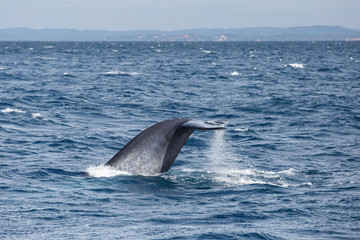 Blue whale watching safari in Sri Lanka. Blue whale in the open sea. Tail of big blue whale.