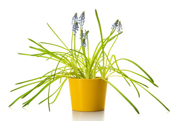 Muscari flowers in yellow flower pot isolated