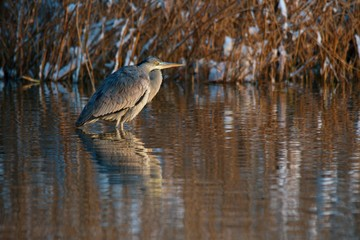 Amazing blue heron in natural environment, Danubian wetland, Slovakia, Europe
