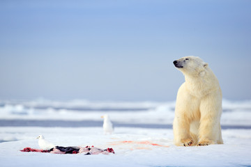 Printed roller blinds Polar bear Polar bear with killed seal. White bear feeding on drift ice with snow, Svalbard, Norway. Bloody nature with big animals. Dangerous animal with carcass of seal.