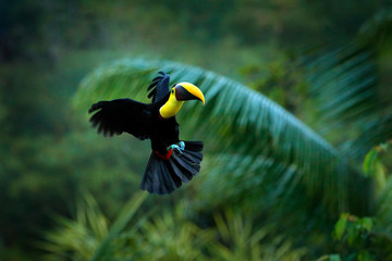 Wall Mural - Tropic bird fly. Flying jungle bird during rain. Keel-billed Toucan, Ramphastos sulfuratus, bird with big bill flying above the forest. Beautiful wildlife scene. Animal in nature forest habitat.