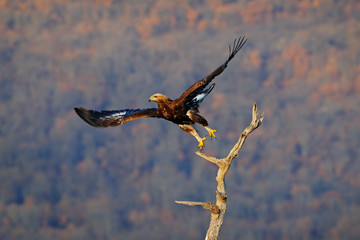 Fototapete - Golden eagle, take off from the tree trunk, Rhodopes mountain, Bulgaria. Eagle, flying in front of autumn forest, brown bird of prey with big wingspan. Action wildlife scene from nature.