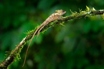 Helmeted basilisk iguana, Corytophanes cristatus, sitting on the tree branch. Lizard in the nature habitat, green forest vegetation. Beautiful reptile with long tail and crest.