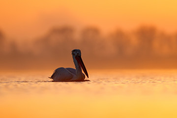 Dalmatian pelican, Pelecanus crispus, in Lake Kerkini, Greece. Bird with morning sunrise. Pelican with open wings. Wildlife scene from European nature. Bird and orange blue sky.