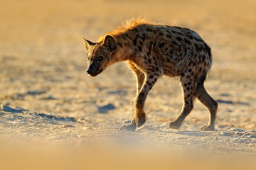 Spotted hyena, Crocuta crocuta, angry animal near the water hole, beautiful evening sunset. Animal behaviour from nature, wildlife in Etosha, Namibia, Africa. Hyena in savannah habitat.