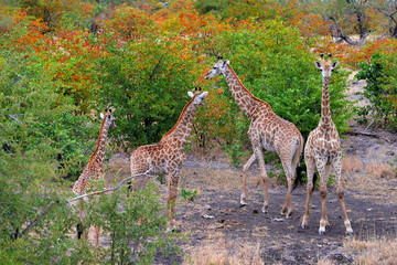 Fotomurales - Group of giraffe near the water hole, orange autumn forest, Kruger NP, South Africa. A lot of giraffe in the nature habitat, African wildlife. Big animals in wild nature habitat.