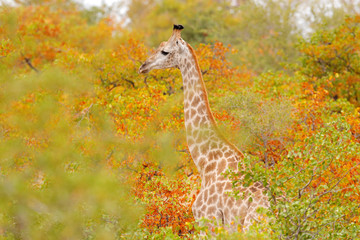 Wildlife scene from nature. Evening light in the wood, Kruger National Park, Africa. Giraffe in the habitat. Giraffe detail in the orange autumn forest. Green and red vegetation with big animals.