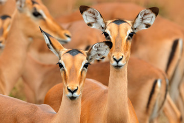 impalas in the grass with evening sun, Ihidden portrait in vegetation. Animal in the wild nature . Sunset in Africa wildlife. Animal in the habitat, face. Beautiful head of antelope, funny image.
