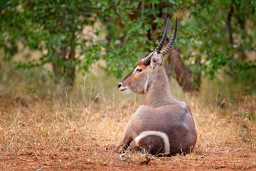 Waterbuck, Kobus ellipsiprymnus, large antelope in sub-Saharan Africa, detail face portrait. Nice African animal in the nature habitat, Kruger NP, South Africa. Wildlife scene from nature, Antelope.