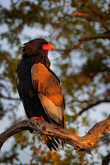Bateleur Eagle, Terathopius ecaudatus, brown and black bird of prey in the nature habitat, sitting on the branch, Kenya, Africa. Wildlife scene from nature.