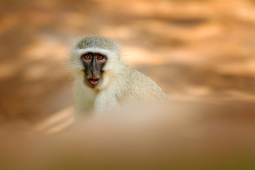 Vervet monkey, Chlorocebus pygerythrus, portrait of grey and black face animal in the nature habitat, Balule near the Kruger Nature Park, South Africa. Wildlife scene from nature. Monkey in green.