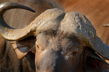 Detail of bull horny head in savannah, Kruger National Park, South Africa. Wildlife scene from African nature. Brown fur of big buffalo. Horn on the big bull head. Close-up portrait.