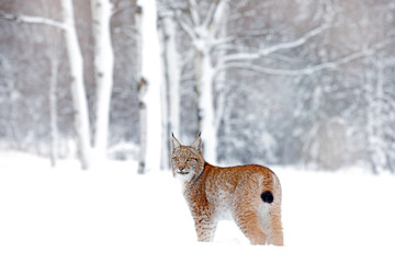 Eurasian Lynx walking, wild cat in the forest with snow. Wildlife scene from winter nature. Cute big cat in habitat, cold condition. Snowy forest with beautiful animal wild lynx, Germany.