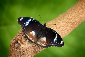 Butterfly in nature forest habitat, Indonesia, Asia.