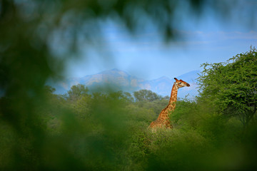 Giraffe hidden in green vegetation. Giraffe hidden in green vegetation. Wildlife scene from nature. Evening light in the forest, Africa. Big animal with mountain in the background, blue sky.