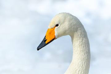 Whooper Swan, Cygnus cygnus, detail bill portrait of bird with black and yellow beak, Hokkaido, Japan.