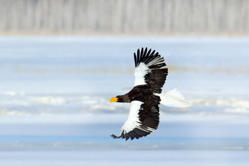 Rare eagle with snowy lake with ice. Steller's sea eagle, Haliaeetus pelagicus, flying bird of prey, with forest in background, Hokkaido, Japan. Bird in fly in winter.