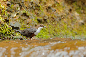 White-throated Dipper, brown bird with white throat in the river, waterfall in the background, animal behavior in the nature habitat, with food in the bill, nesting time, wildlife Germany.