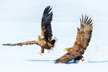 Wall Mural - Winter scene with two birds of prey. Flying White-tailed eagle, Haliaeetus albicilla, Hokkaido, Japan. Action wildlife scene with ice. Two eagles fighting about fish.