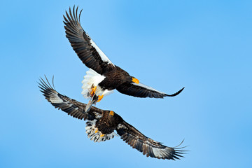 Eagles fight on the blue sky. Wildlife action behavior scene from nature. Beautiful Steller's sea eagles, Haliaeetus pelagicus, flying birds of prey in winter, Hokkaido, Japan. Bird with fish catch.