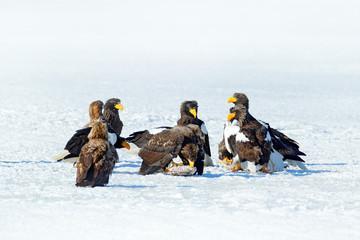 Group of eagles on ice. Steller's sea eagles, Haliaeetus pelagicus from Hokkaido, Japan. Wildlife action behavior scene from nature. Birds feeding fish in the snow lake. Animal behaviour in winter.