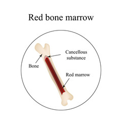 The structure of the bone marrow. Infographics. Vector illustration